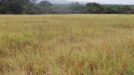 Serval set Free