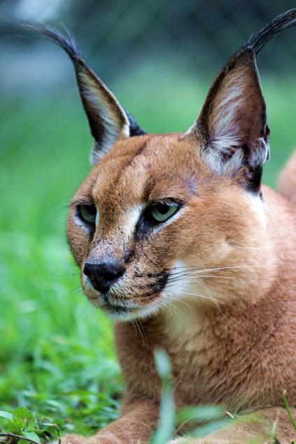 Adopt A Caracal Lynx Emdoneni Cheetah Project