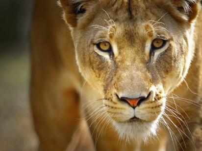lioness1-1024x768