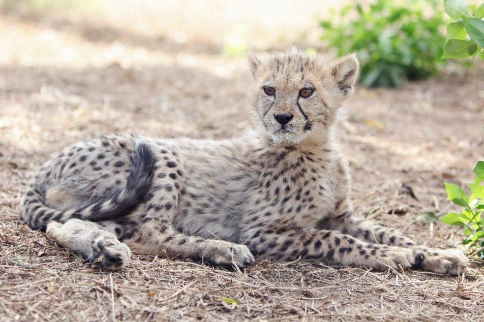 meet-storm-the-cheetah-cub-1