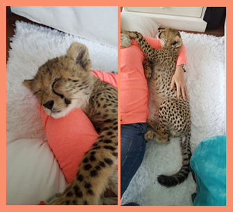 meet-storm-the-cheetah-cub-3