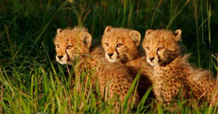 3-cheetahs-cubs-450