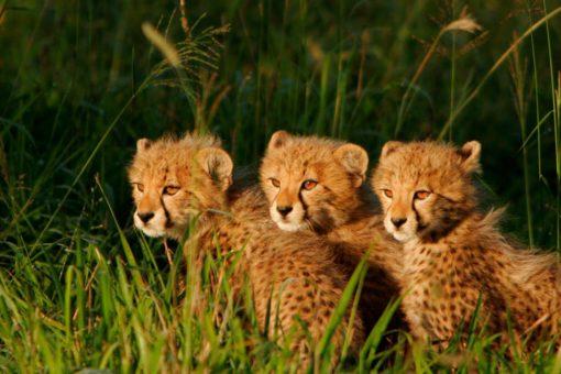 3-cheetahs-cubs