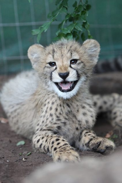 Emdoneni's cheetahs – here are some fun facts | Emdoneni Lodge