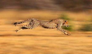 Asian cheetahs food think, that