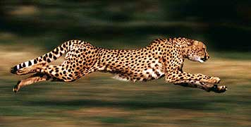 sprint like a cheetah image