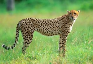 Fun Facts About Cheetah's | Emdoneni Lodge