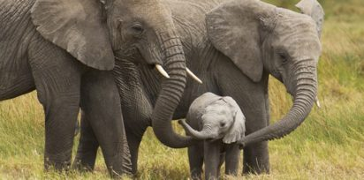 African elephants walking with their young on the serengeti